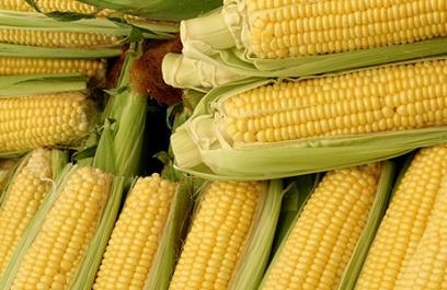 Sistema de producción continua de maíz en Yucatán
